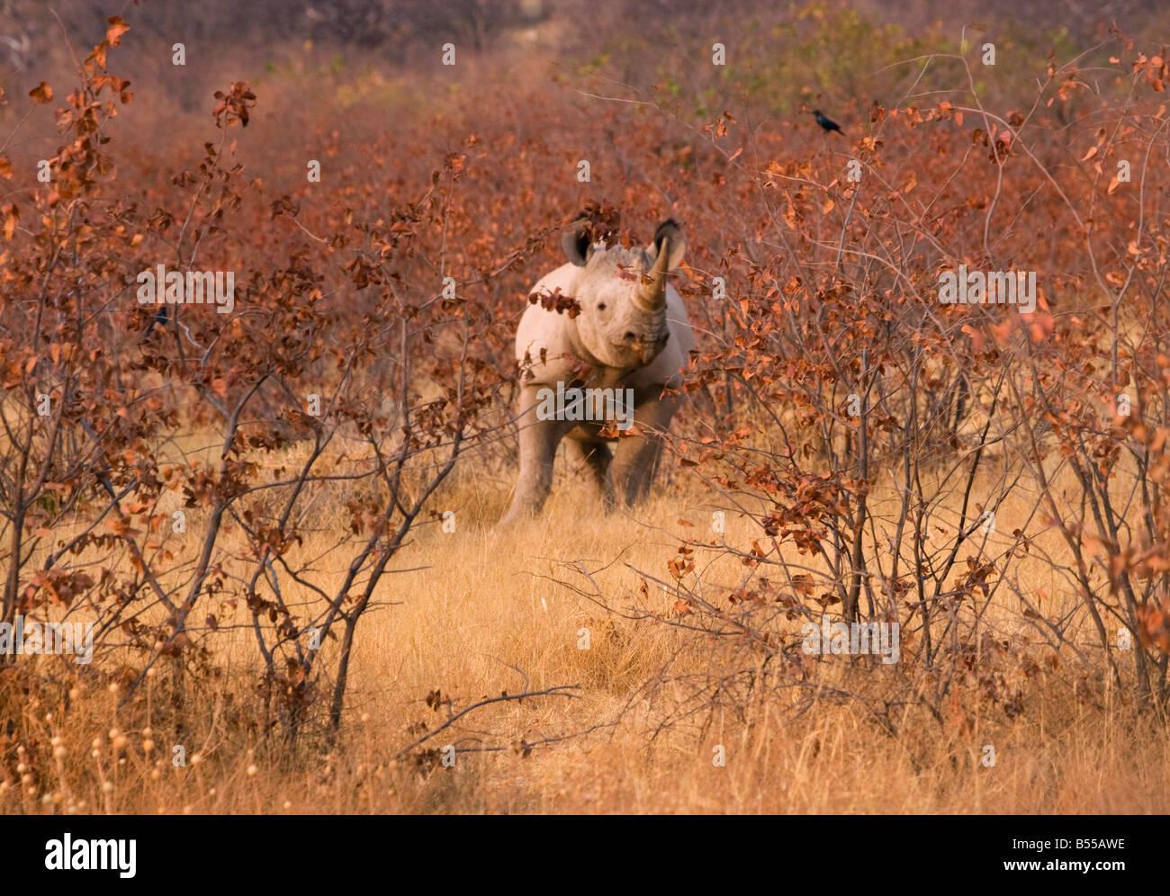 rhino rhinoceros animal Africa Etosha Namibia - Stock Image