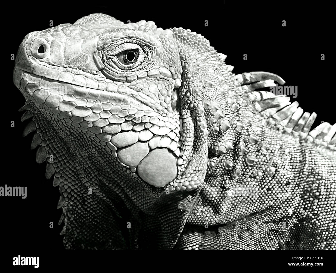USA, Iguana is a genus of lizard native to tropical areas of Central and South America and the Caribbean. - Stock Image