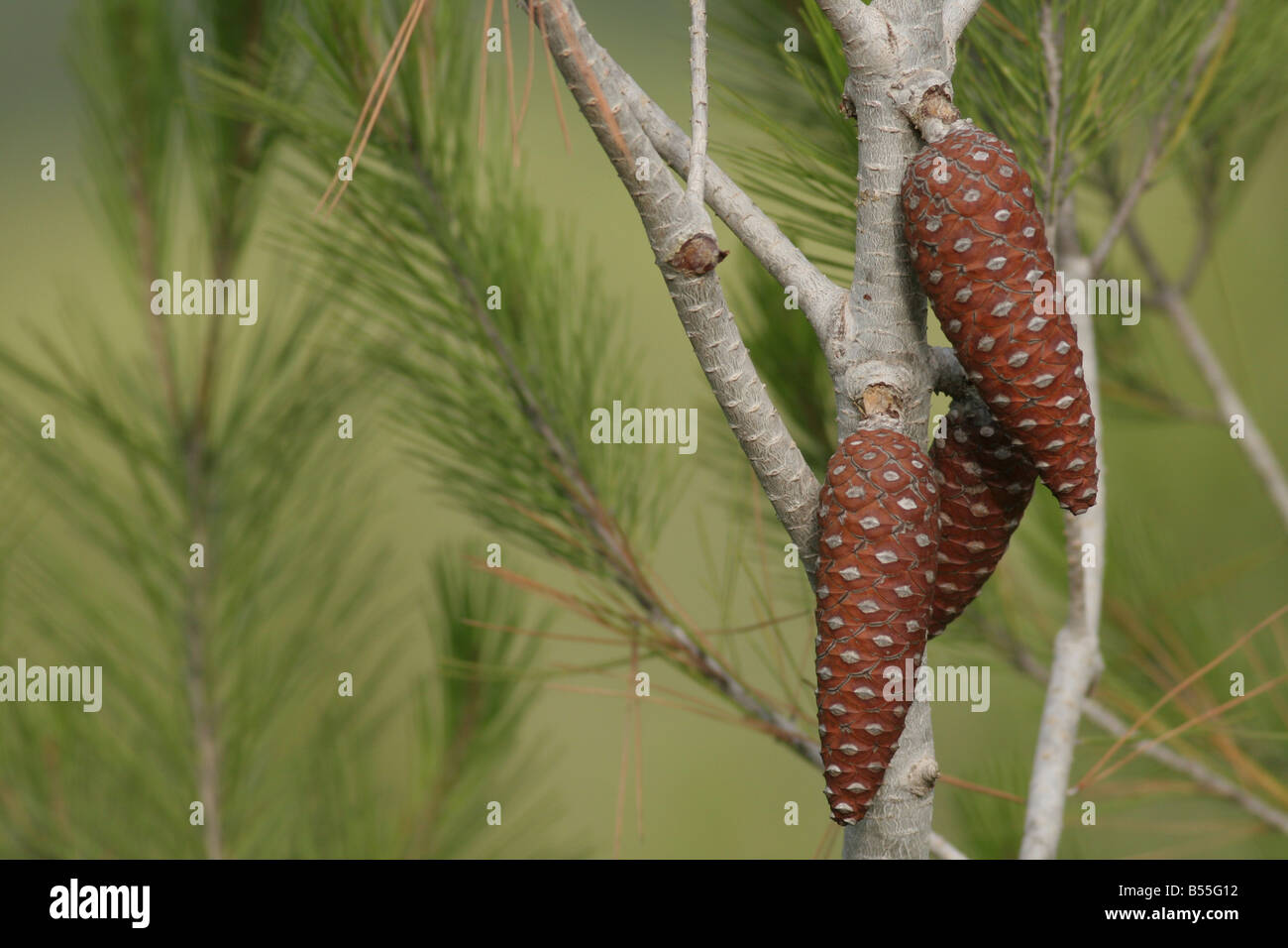 cones and leaves of the Aleppo Pine Pinus halepensis - Stock Image