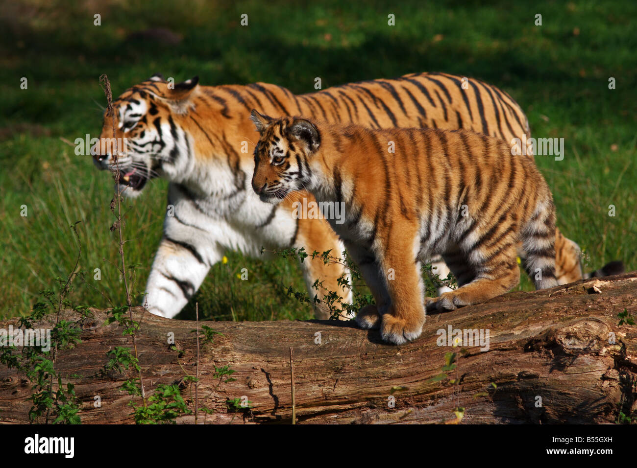 Siberian tiger with cub walking beside each other - Stock Image