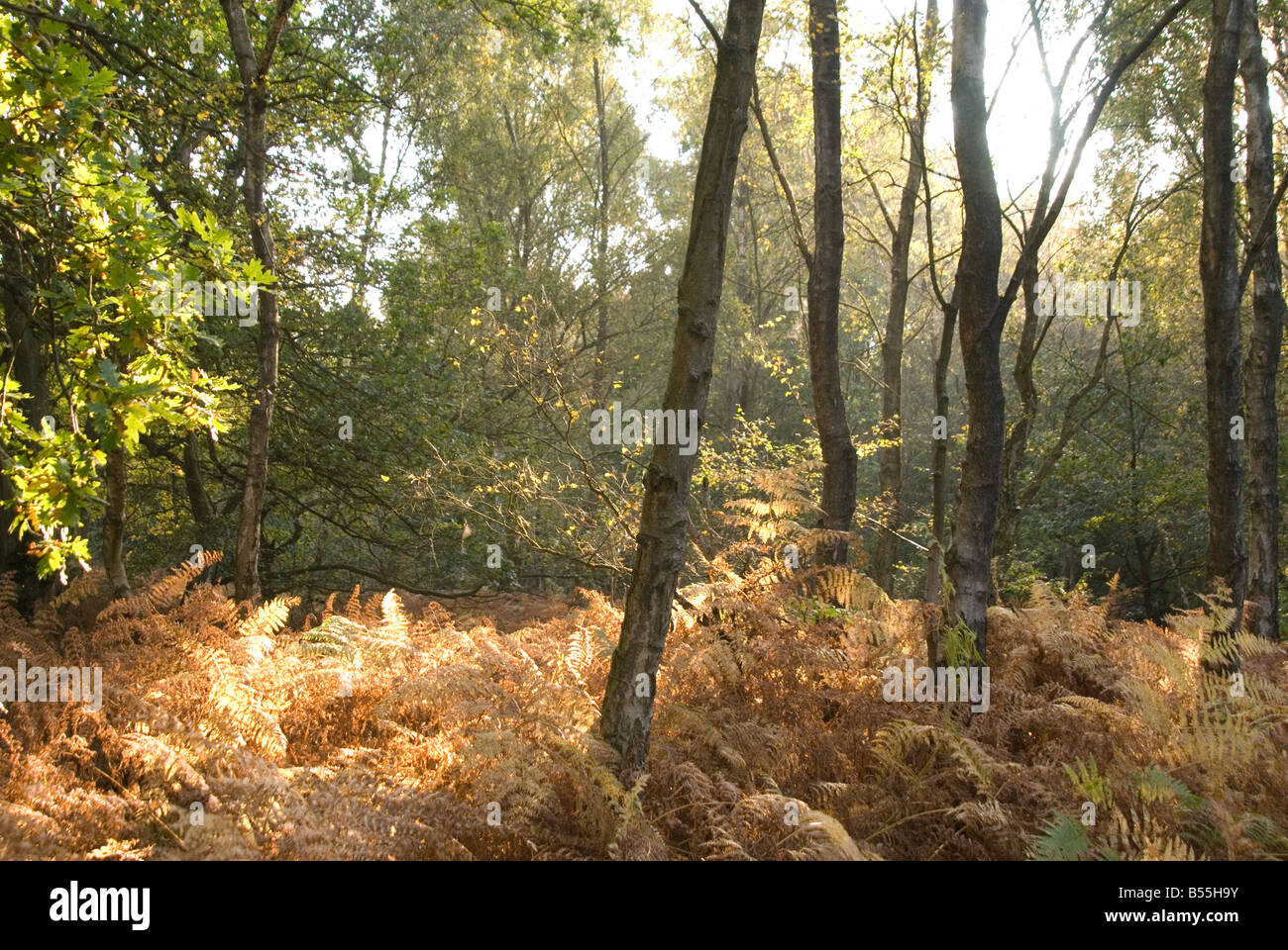 An image of light shining through the Autumn trees onto the golden fern on the Ashdown Forest - Stock Image