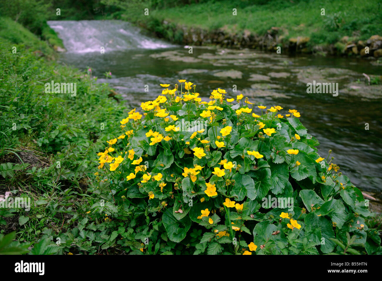 Marsh Marigold Caltha palustris by a small river and weir - Stock Image