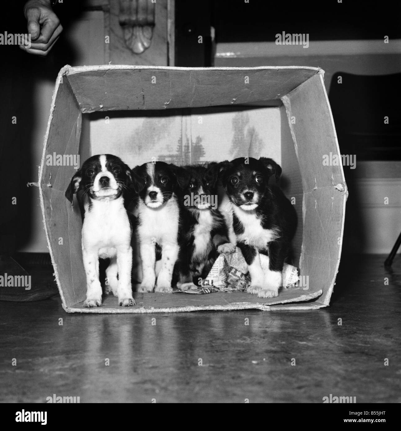 Five mongrel puppies who were left in this cardboard box last night on the steps of the R.S.P.C.A. Clinic in Conford - Stock Image