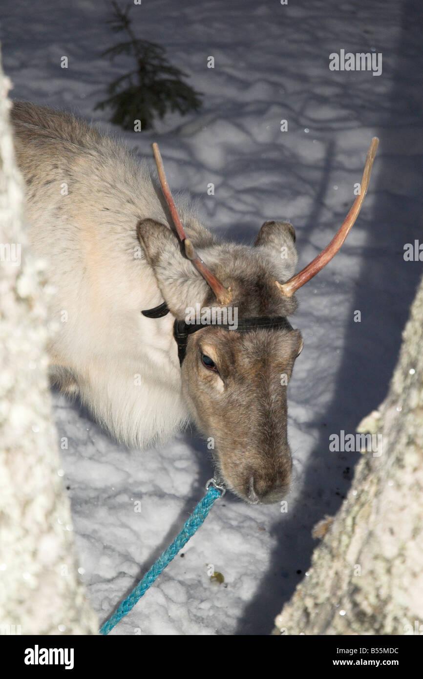 Rein Deer Calf in Lapland Finland - Stock Image