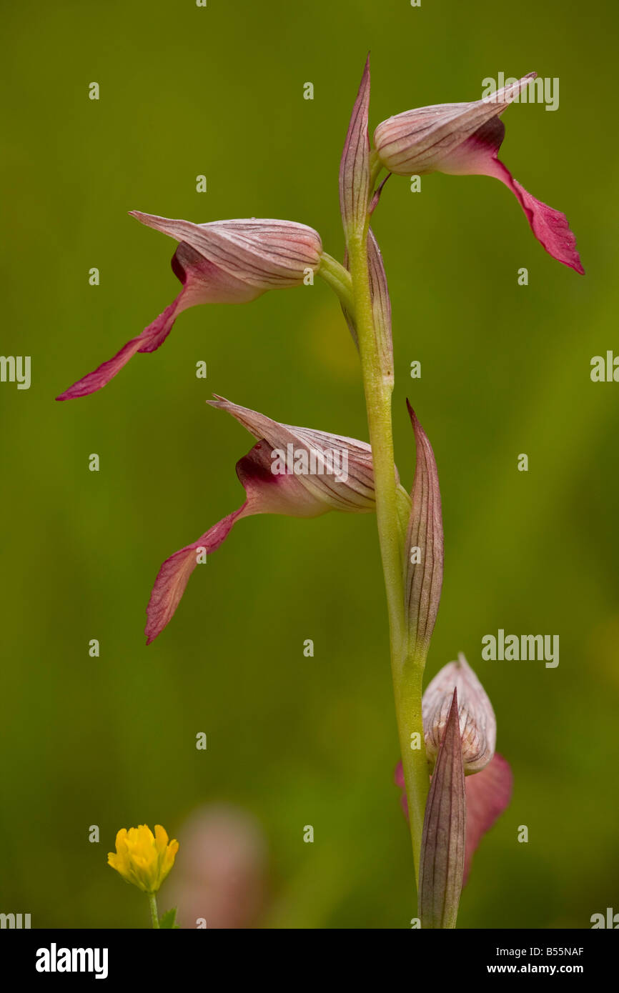 Tongue Orchid (Serapias lingua) in flower in damp meadow, close-up, Dordogne, France - Stock Image