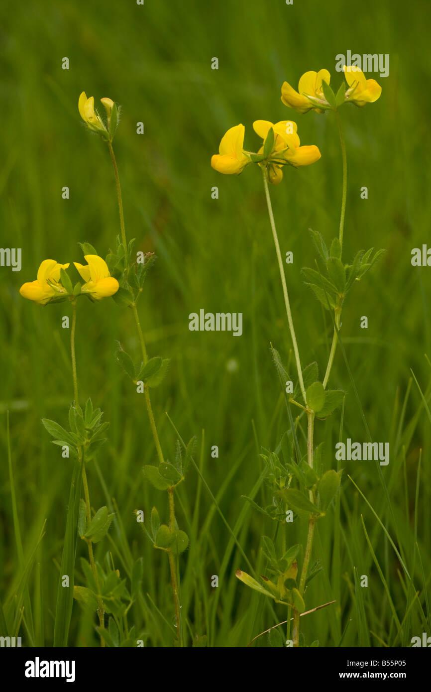 Central European form of Bird's Foot Trefoil Lotus corniculatus var sativus in meadow Slovenia - Stock Image