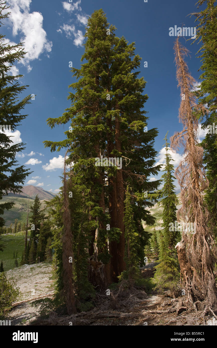 Grove of Red Firs Abies magnifica near Winnemucca Lake in the Sierra Nevada Carson Pass California - Stock Image