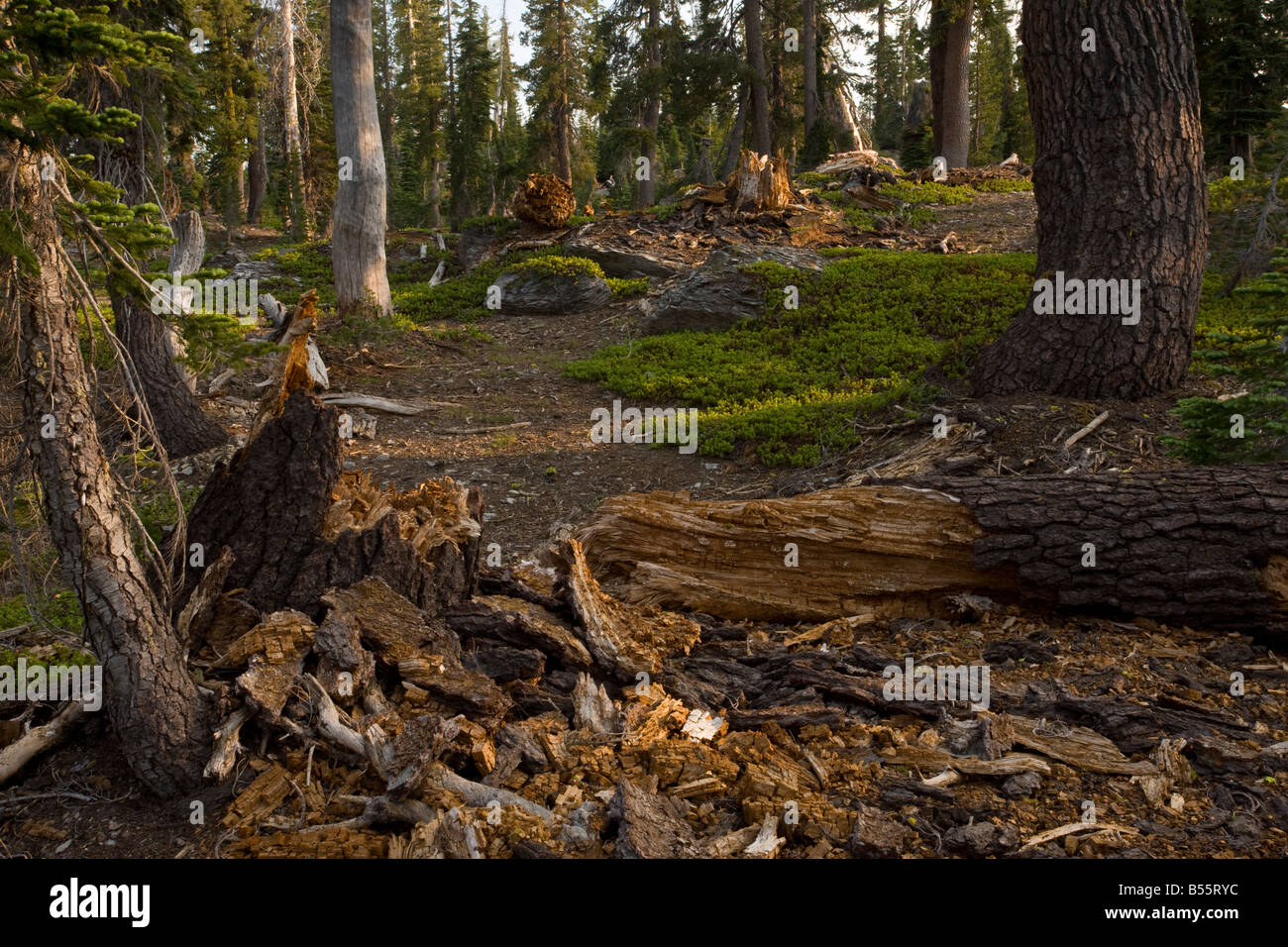 Ancient red fir (Abies magnifica) and pine forest, with abundant fallen logs and dead wood, on Mount Lassen, California. - Stock Image