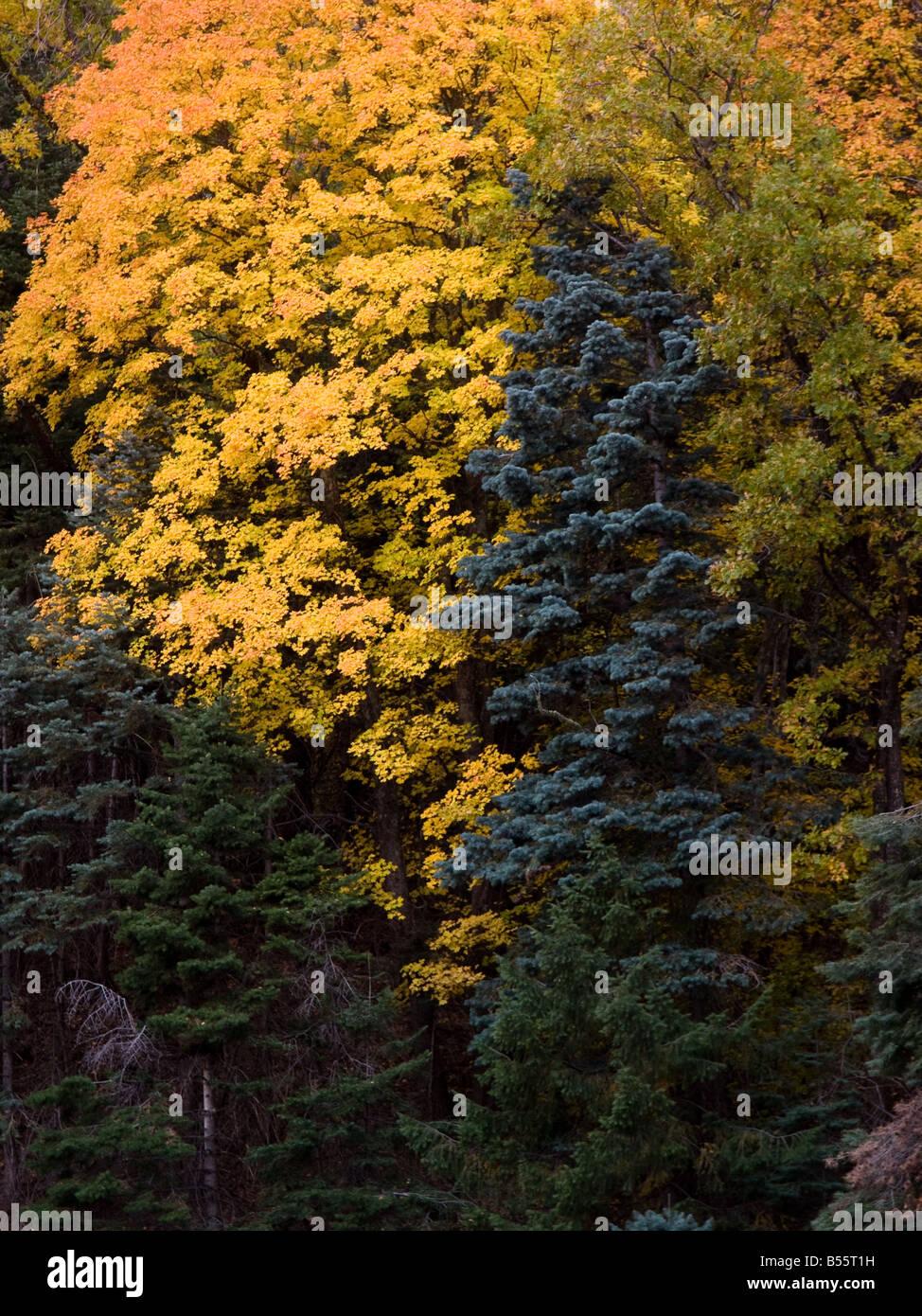 maples and douglas fir in pinaleno mountains, arizona Stock Photo