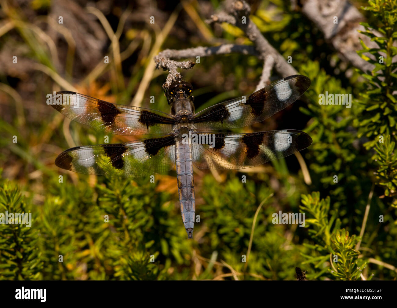 The twelve spotted Skimmer Libellula pulchella perched on red heather Mount Lassen California - Stock Image