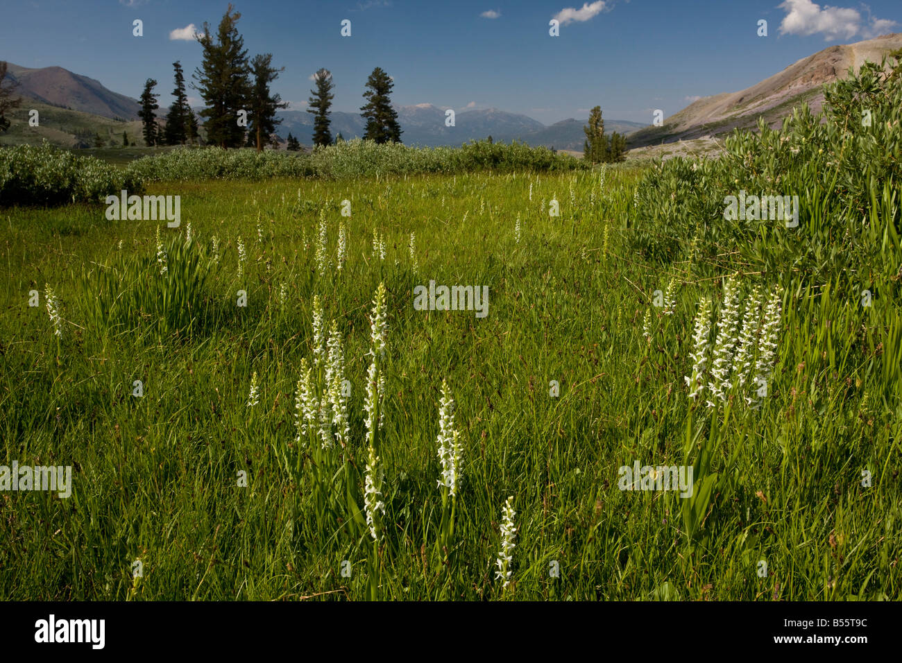 Sierra Rein Orchid Platanthera leucostachys above Blue Lakes in the Sierra Nevada Carson Pass California - Stock Image