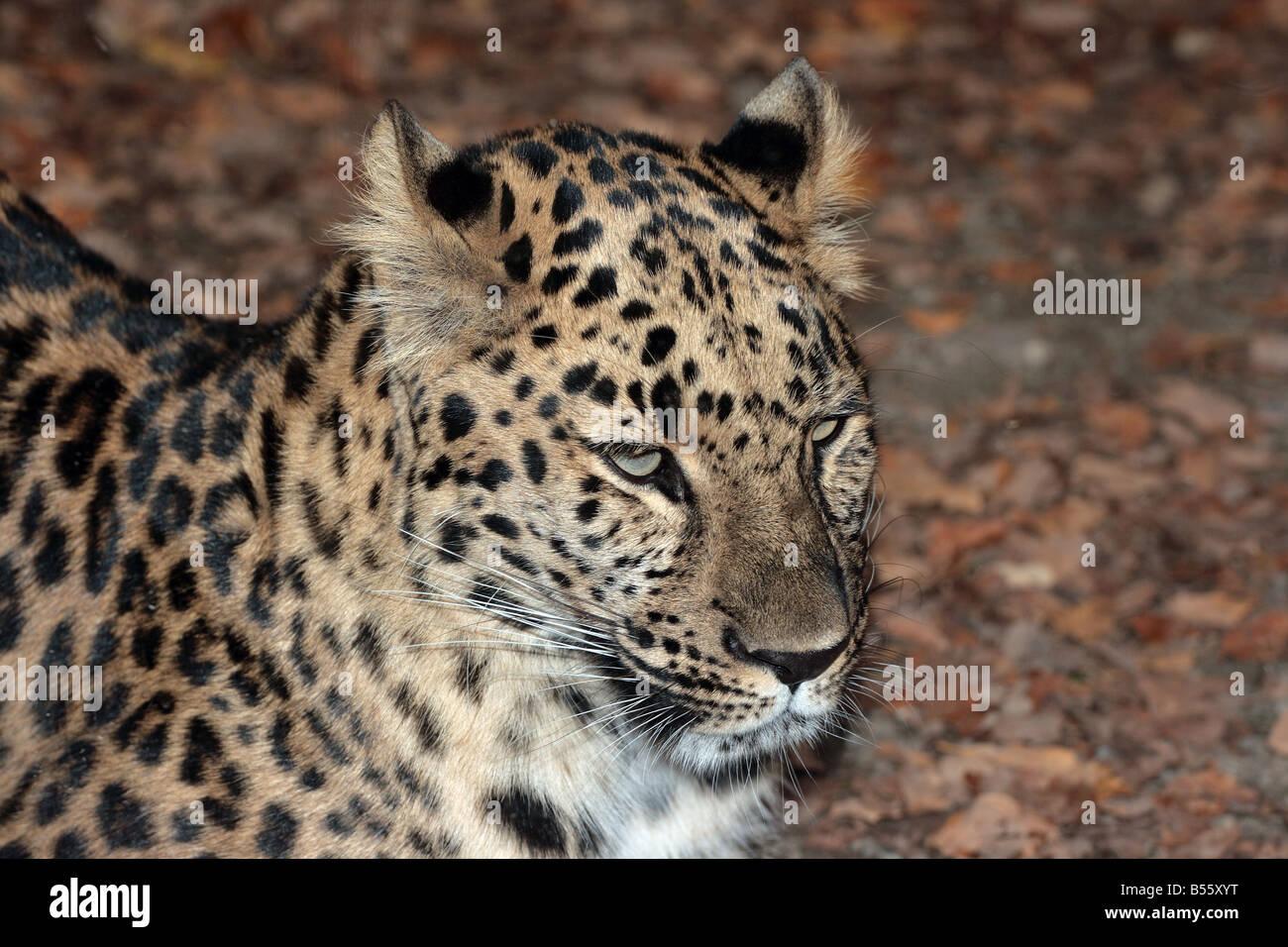 Amur Leopard at the Erie Zoo, Erie, Pennsylvania, USA. - Stock Image