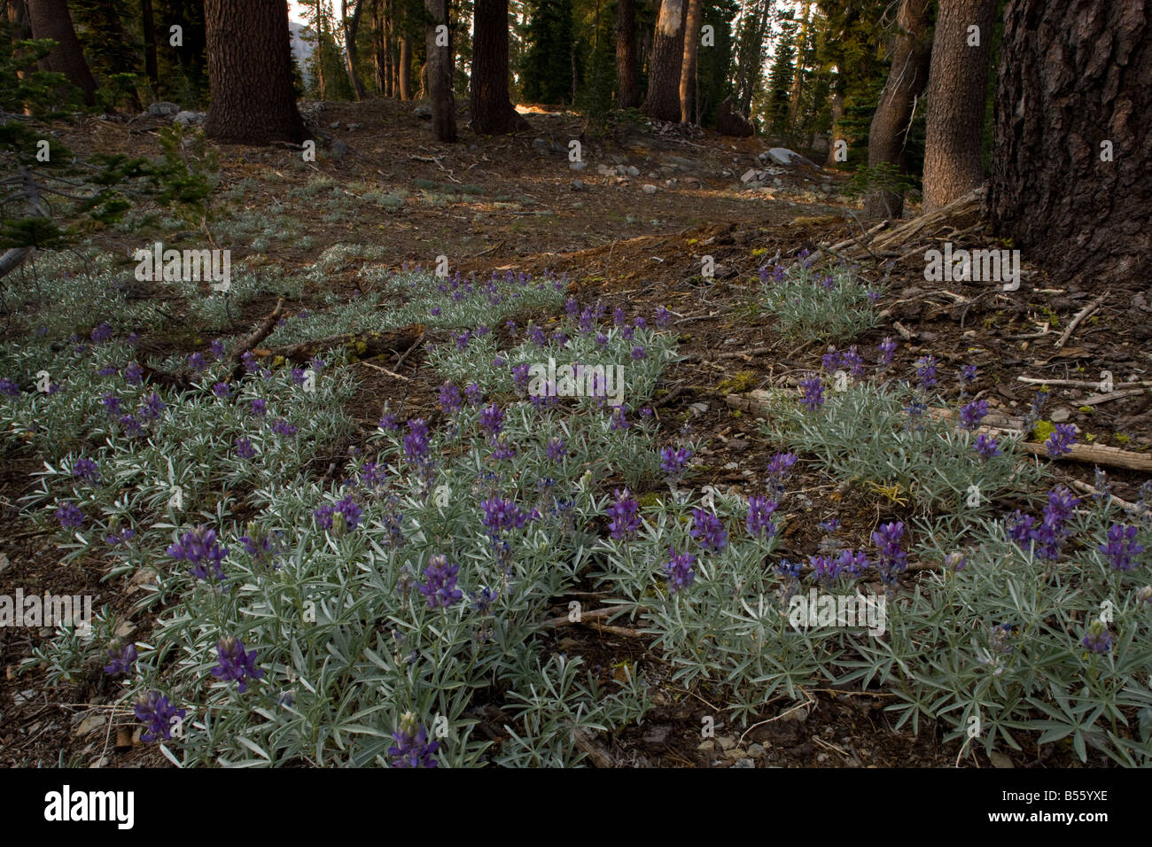Satin Lupine Lupinus obtusifolius in flower in Fir Forest Mount Lassen California - Stock Image