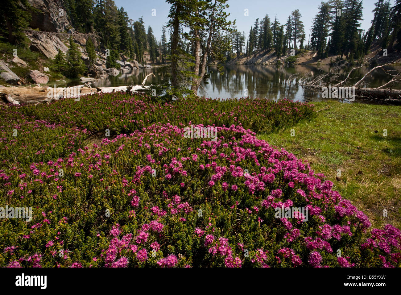 Red Heather or Purple Mountain Heath Phyllodoce breweri Mount Lassen National Park California - Stock Image