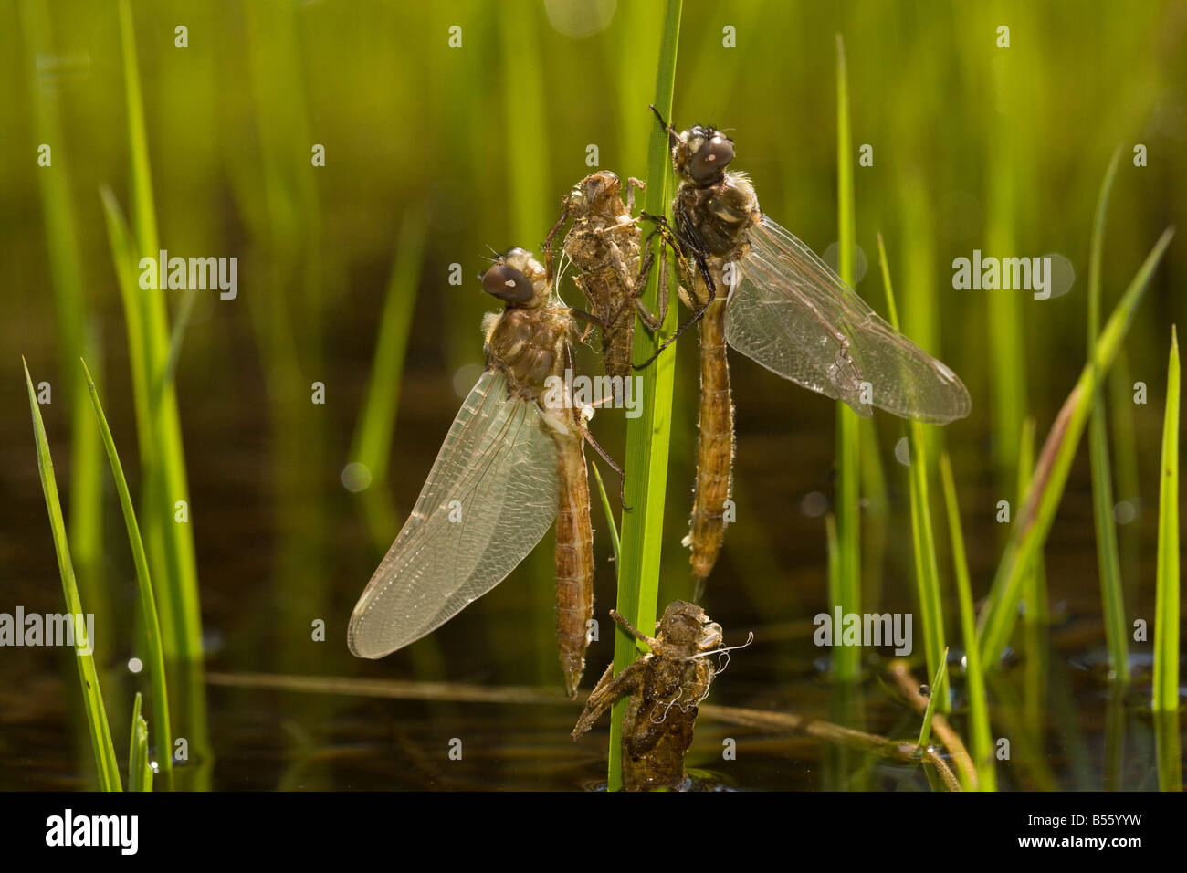 Newly emerged dragonflies with nymphal cases exuviae in high altitude lake in Lassen National Park California - Stock Image
