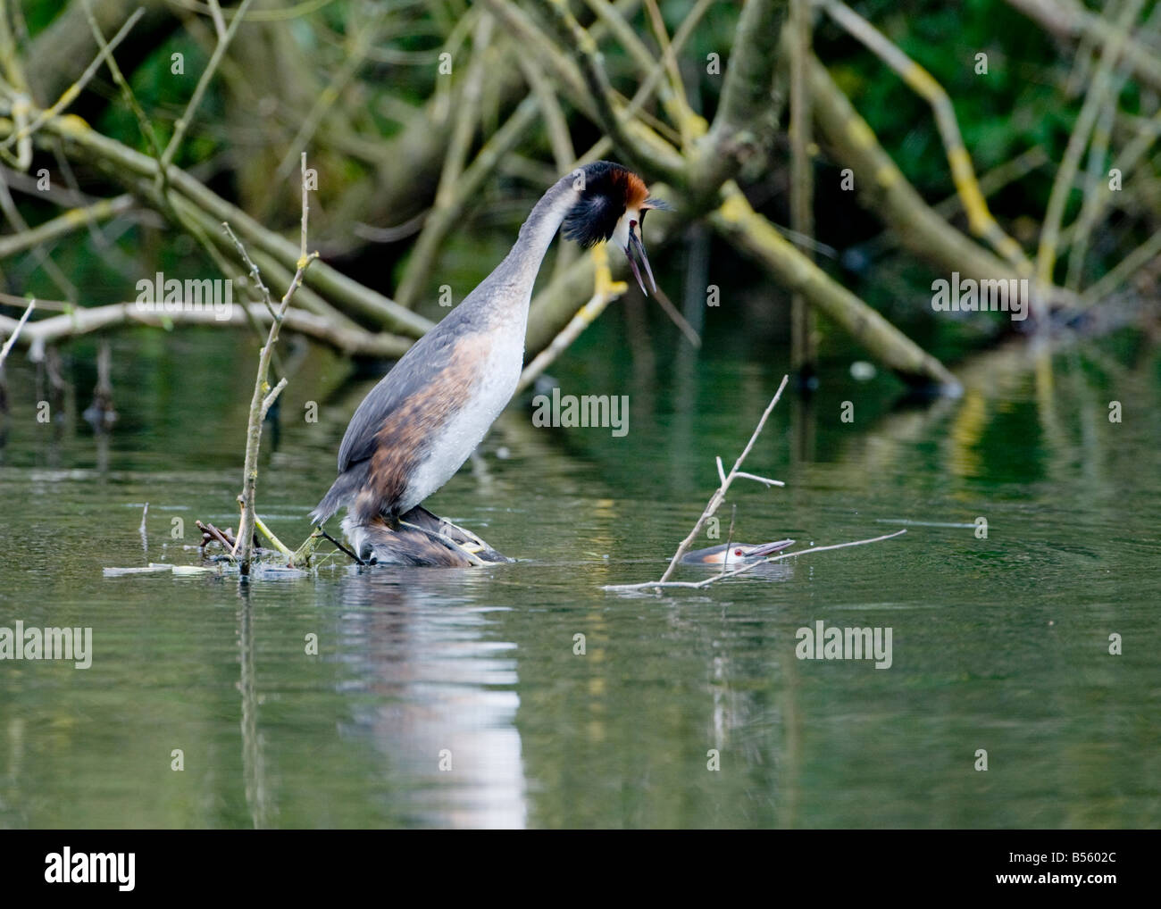 Great Crested Grebes (Podiceps cristatus) mating in spring time in an English lake - Stock Image