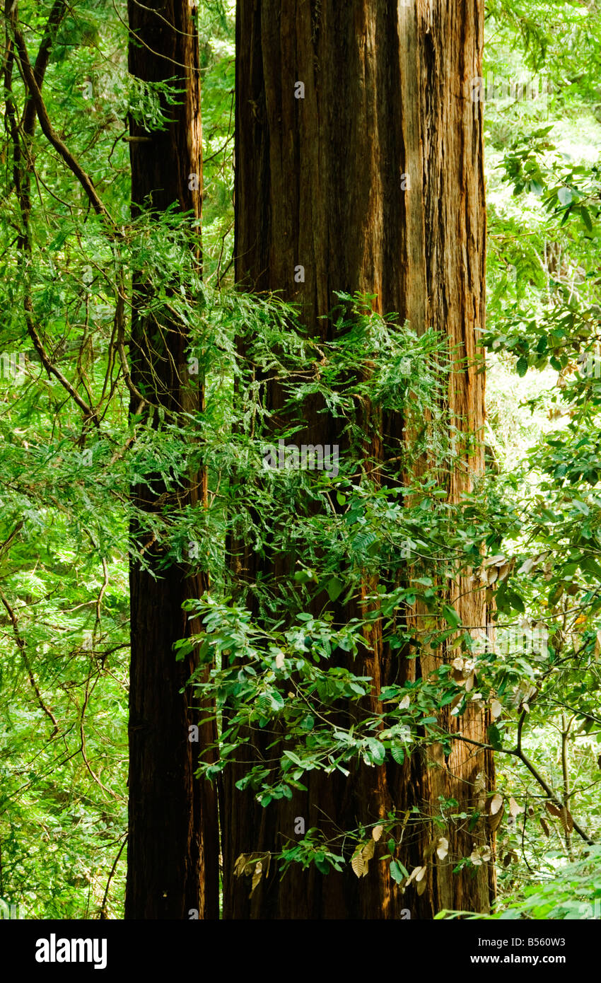 California San Francisco The trunk of a mature redwood tree at Muir Woods Photo 33 casanf80984 Photo Lee Foster - Stock Image