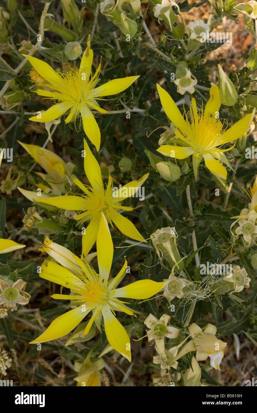 Smooth stemmed Mentzelia or Blazing Star Mentzelia laevicaulis north California - Stock Image