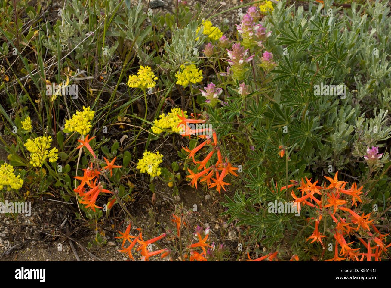 Scarlet Gilia Ipomopsis aggregata sulphur flower owl's clover etc in flower Mount Ashland Oregon - Stock Image