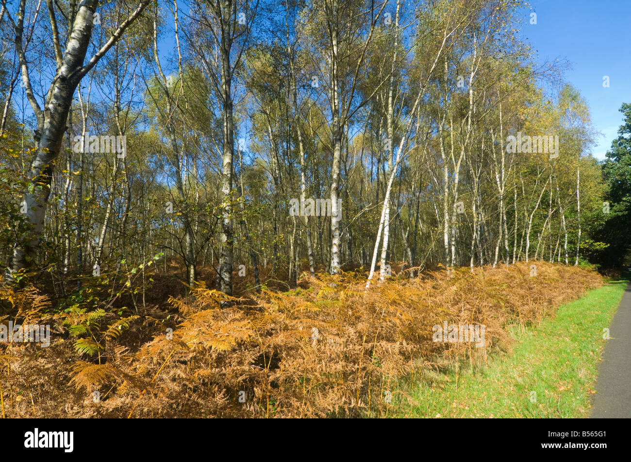 Silver Birch Trees in Autumn Surrey UK Stock Photo