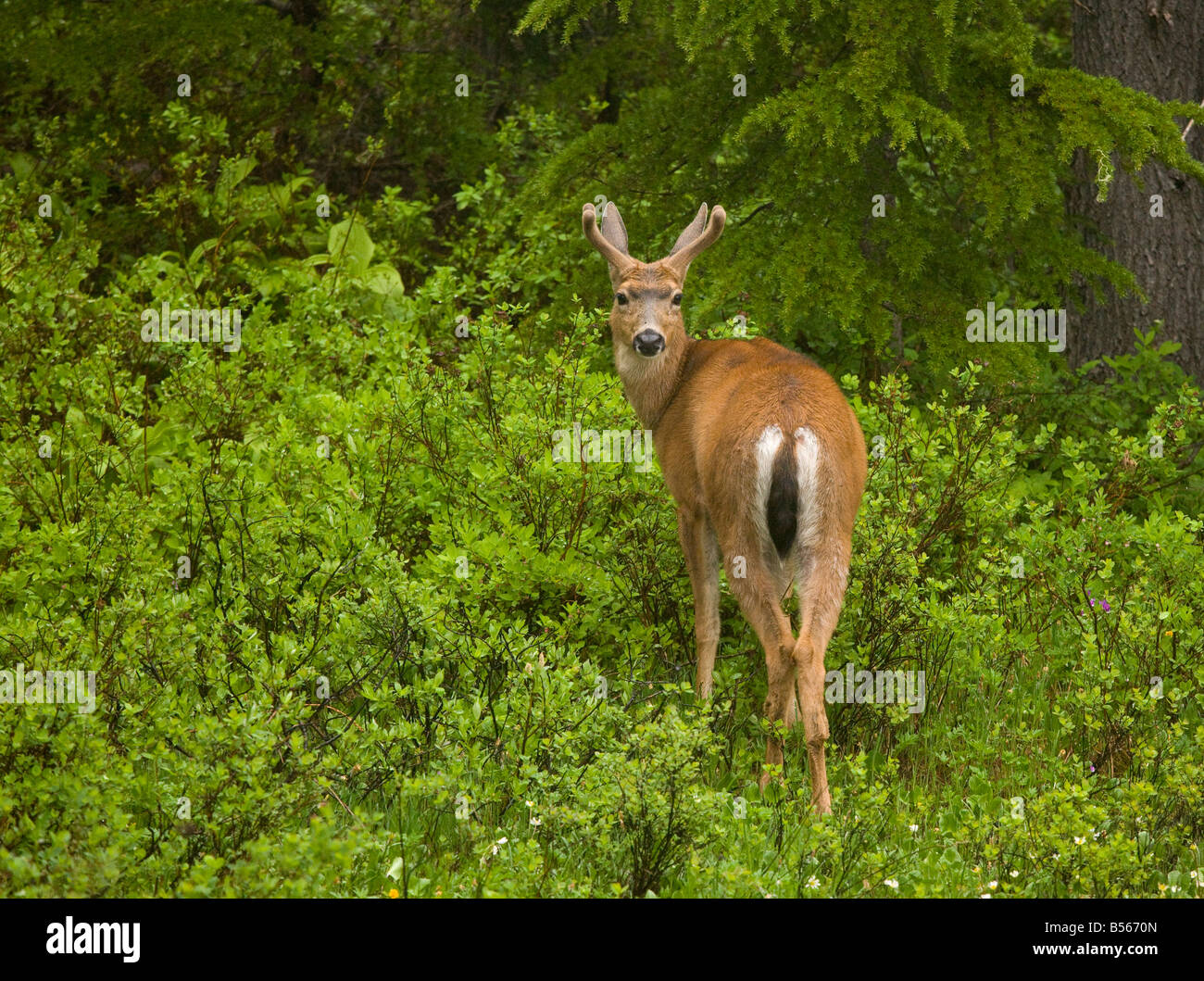 Black tailed deer or Blacktail deer Odocoileus hemionus in mountain forest Mount Rainier Washington - Stock Image