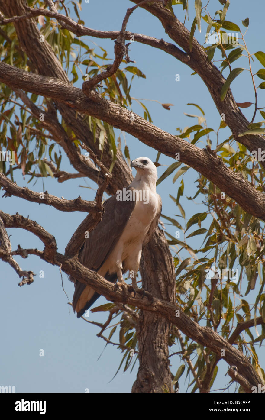 A white bresated sea eagle roosting in a eucalypt tree near Broome Western Australia - Stock Image