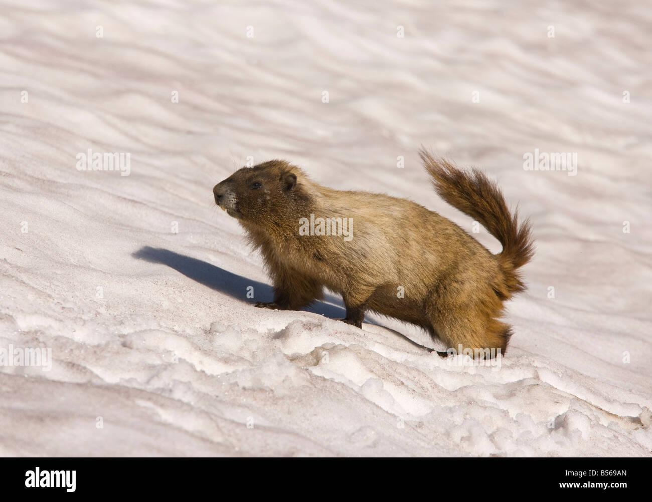 Hoary marmot Marmota caligata on snow patch high on Mount Rainier Cascade Mountains Washington - Stock Image