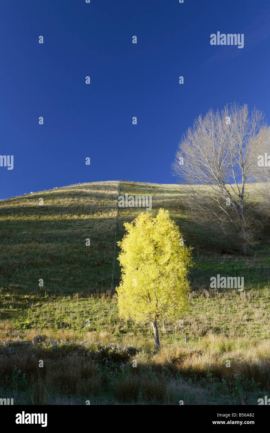 Autumnal tree at bottom of hill Lewis Pass Christchurch and Canterbury South Island New Zealand - Stock Image