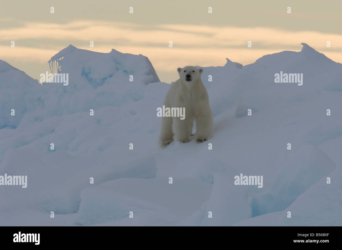Young male polar bear at the floe edge Lancaster Sound Nunavut Canada Arctic Stock Photo