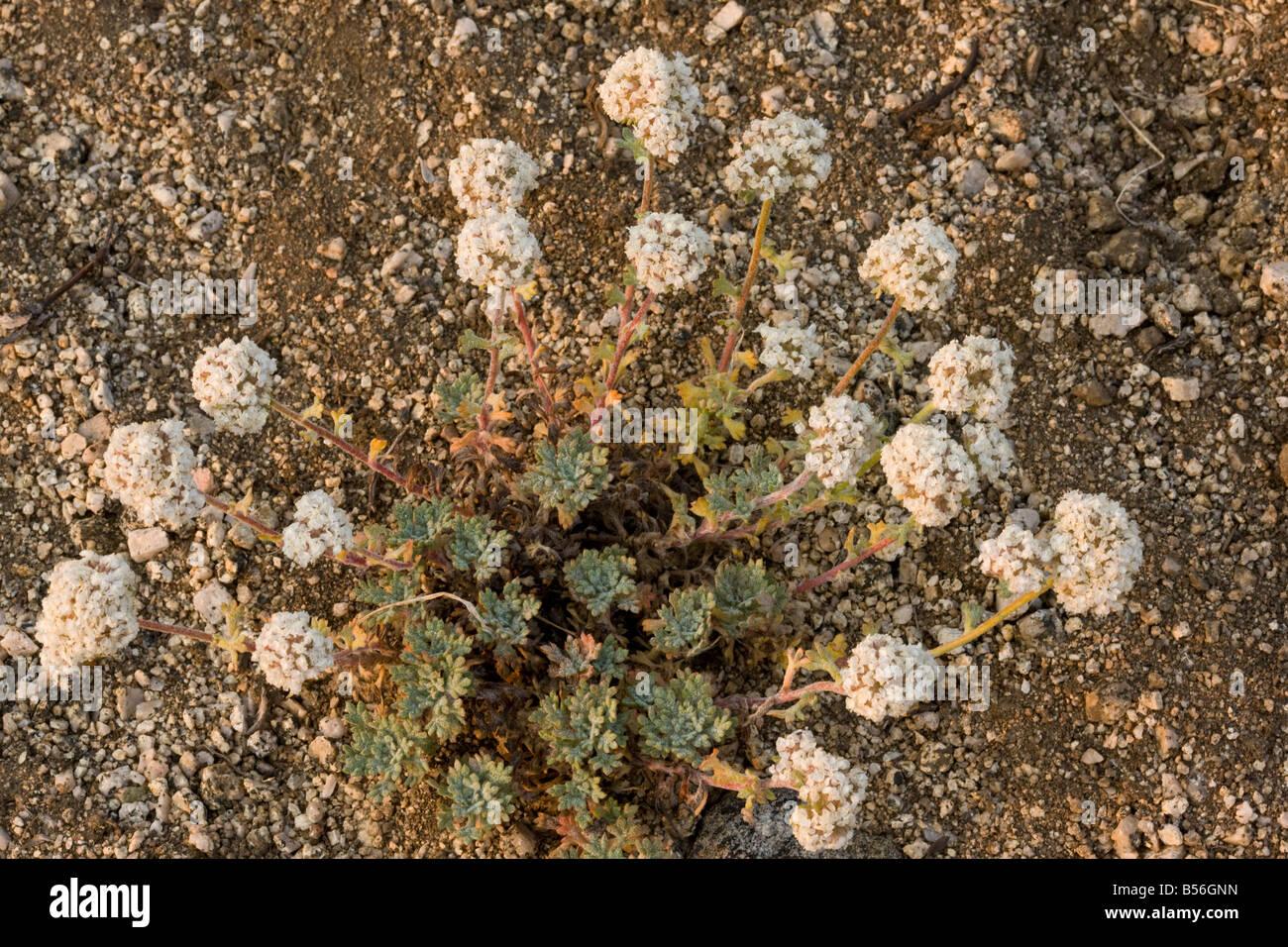 Ball head Gilia Ipomopsis aggregata high on Mount Ashland Oregon - Stock Image