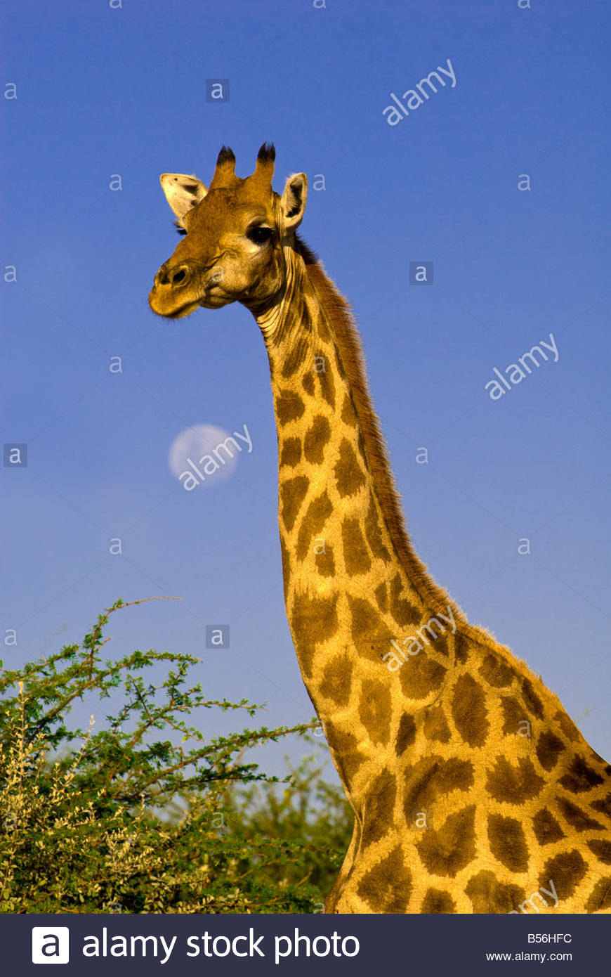 A Giraffe with a full moon in the background Etosha National Park Namibia - Stock Image