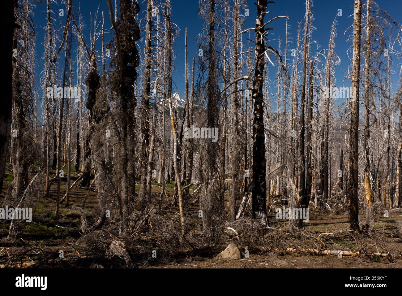 Badly burnt area of Lodgepole Pines Pinus contorta with Bear Grass 5 years after fire Three fingered Jack Cascades - Stock Image