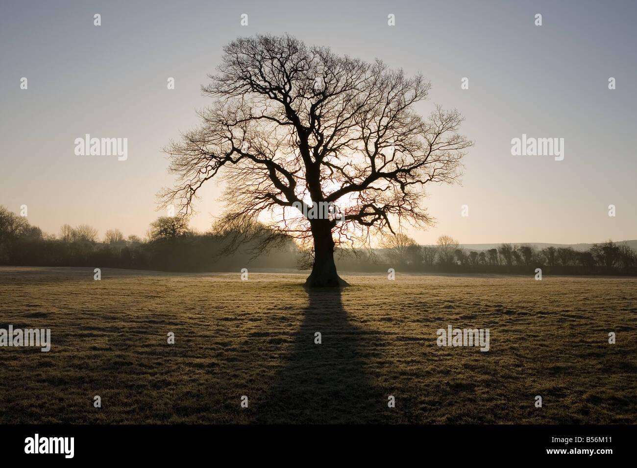 Oak tree in winter - Stock Image