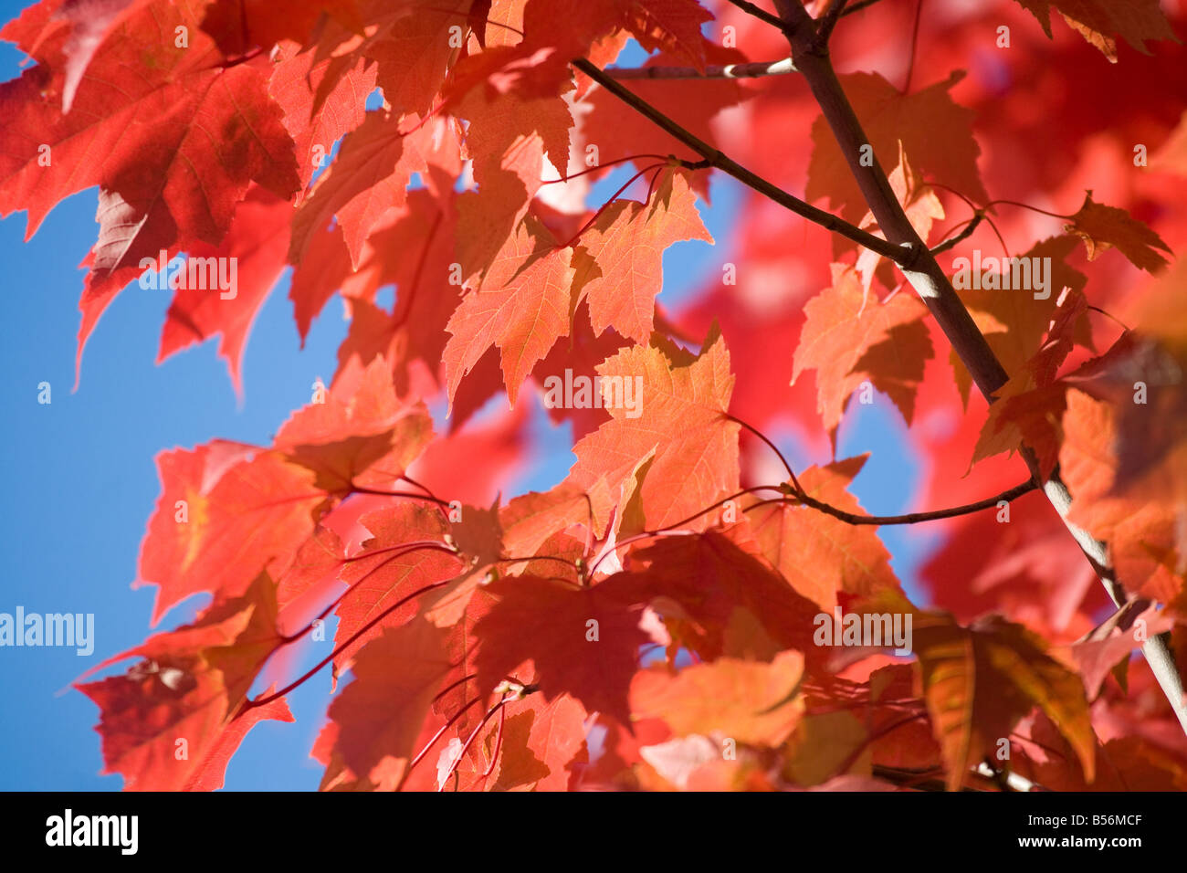 Close up of an autumnal tree Stock Photo