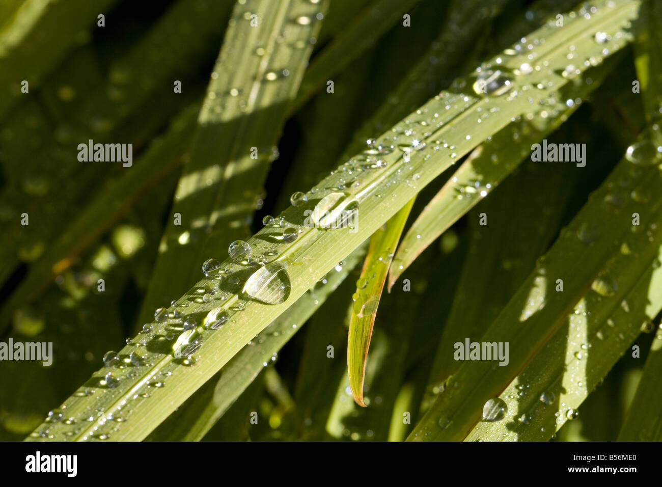 Dew on stalks of grass - Stock Image