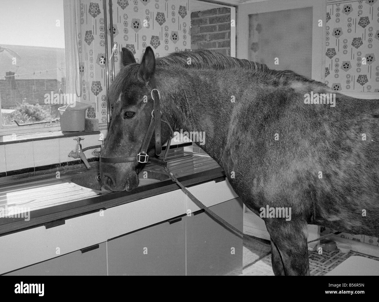 Sam the pet pony having a drink of water in the kitchen sink of his ...