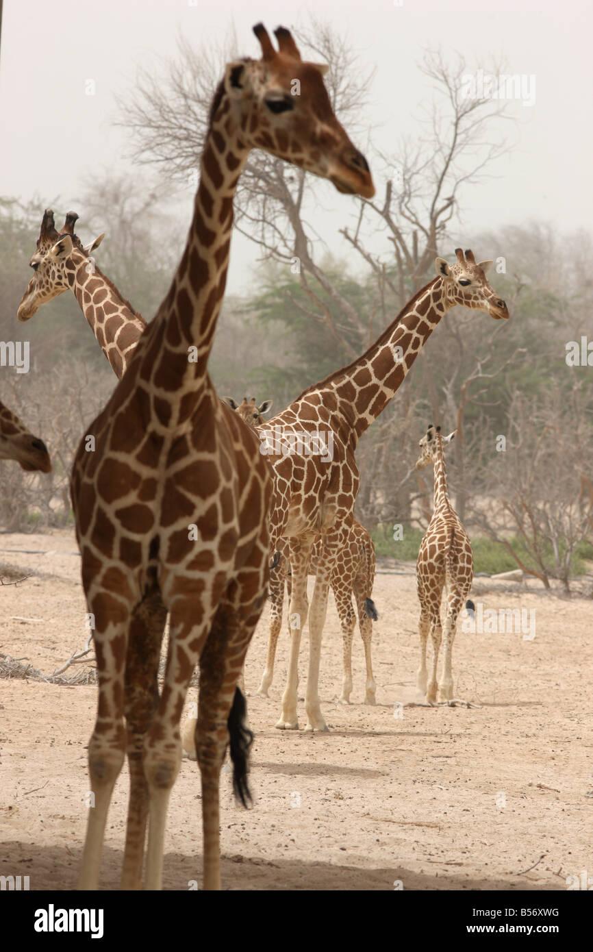 Giraffe Sir Bani Yas Island private game reserve in the persian gulf near Abu Dhabi United Arab Emirates - Stock Image