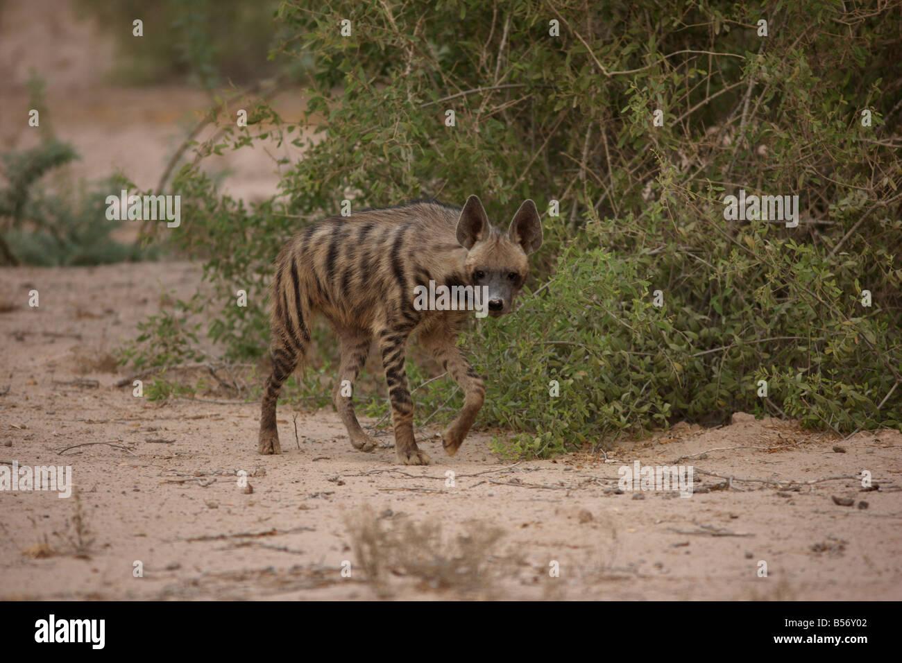 hyena Sir Bani Yas Island private game reserve in the persian gulf near Abu Dhabi United Arab Emirates Stock Photo