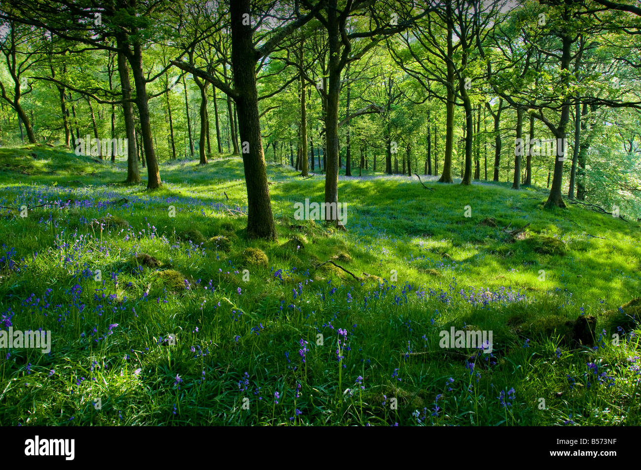 English (Common) Blubells and Ramsons (Wild Garlic) carpet the woodland close to the village of Near Sawrey in the Lake District Stock Photo