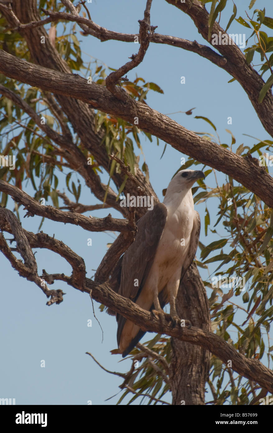 A white breasted sea eagle roosting in a eucalypt tree near Broome Western Australia - Stock Image