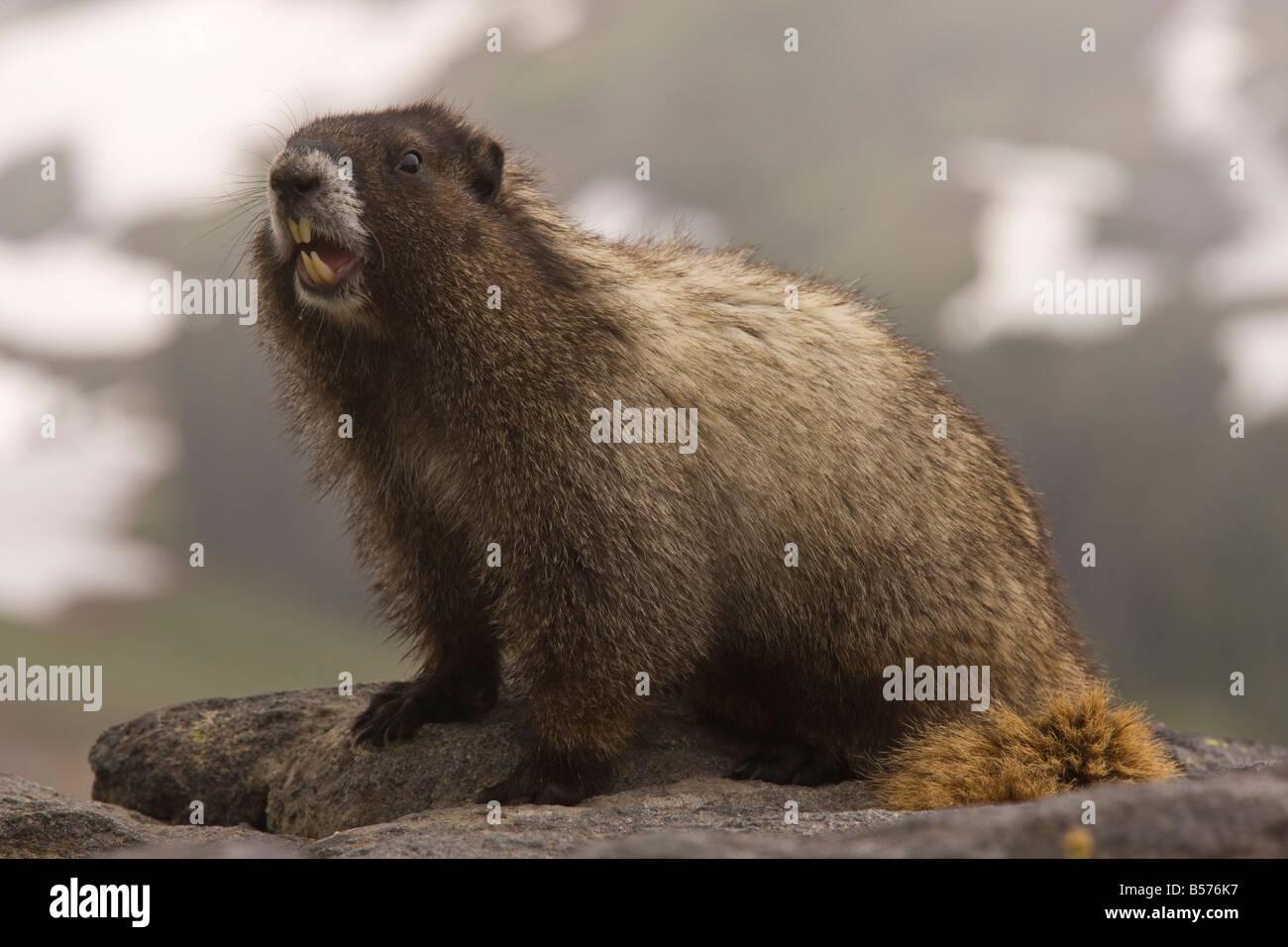 Hoary marmot Marmota caligata on Mount Rainier Cascade Mountains Washington - Stock Image
