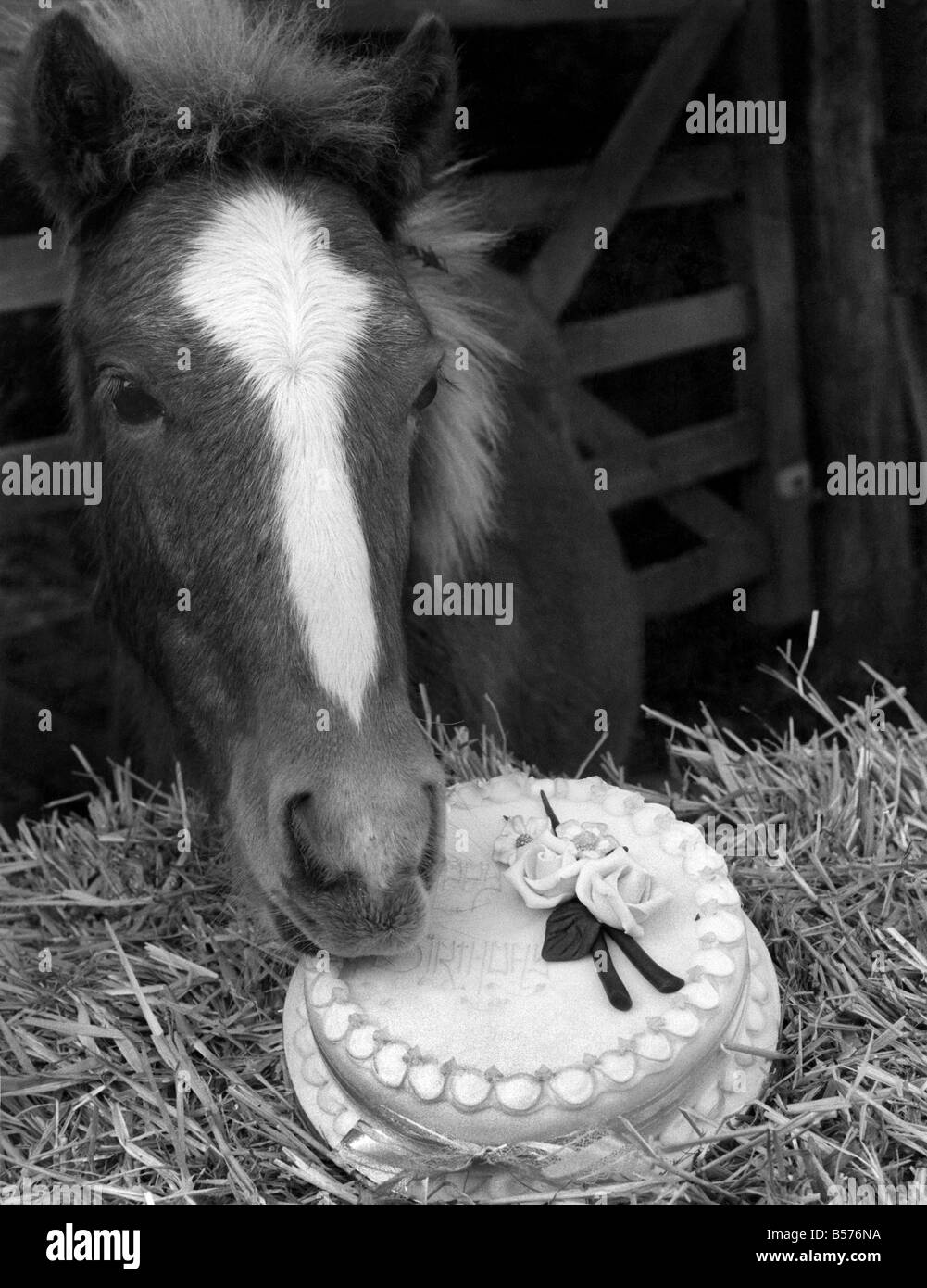 Lucky, tries his first birthday cake. October 1983 P004866 - Stock Image