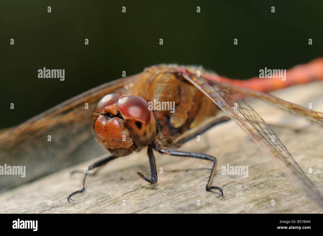 Ruddy Darter - Sympetrum sanguineum Stock Photo
