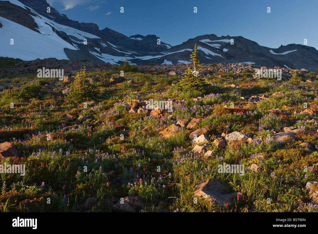 Dwarfed subalpine firs Abies lasiocarpa in tundra at the tree line at 7000 ft on Mount Rainier Cascade Mountains - Stock Image