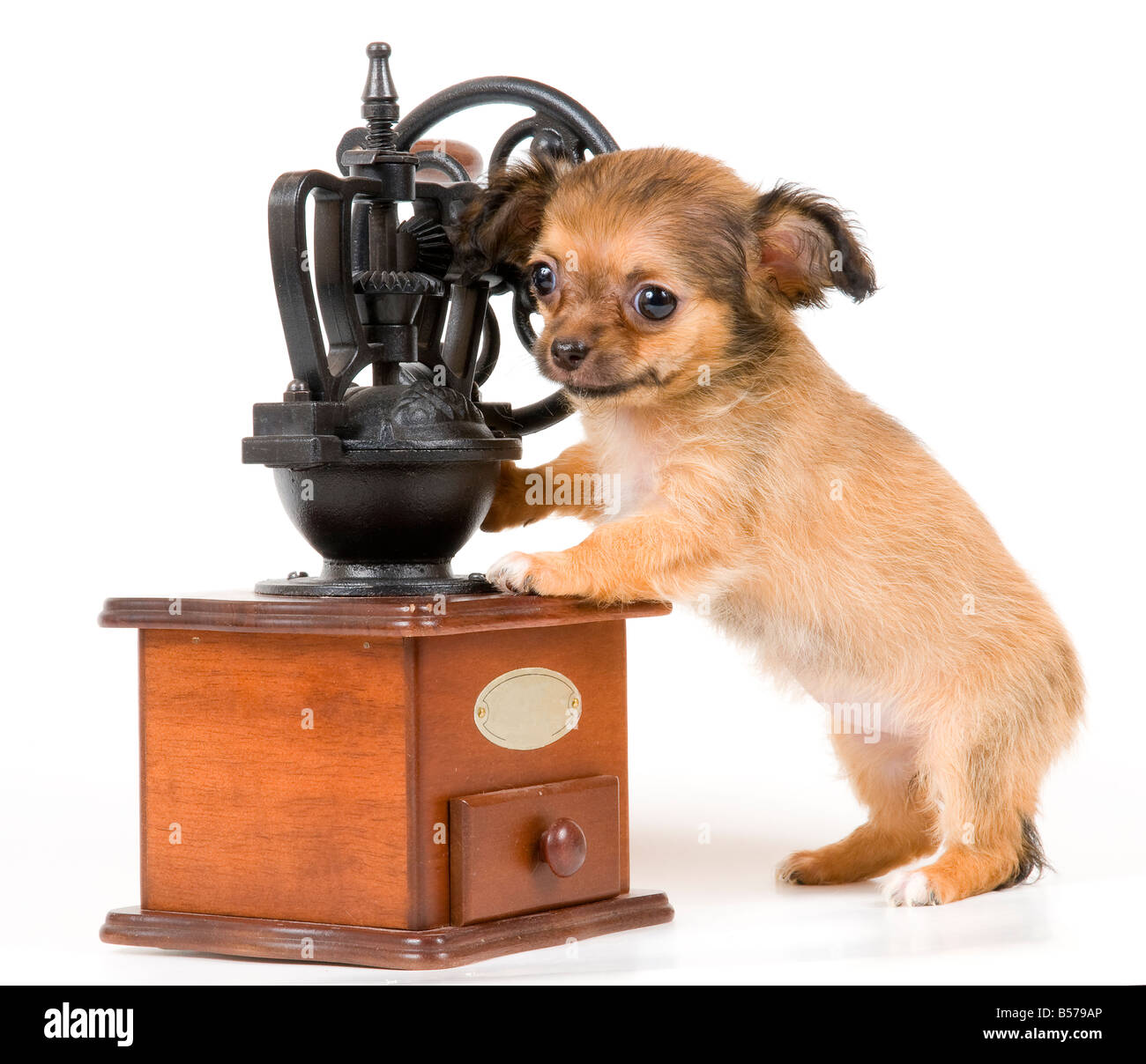 The puppy chihuahua in studio - Stock Image