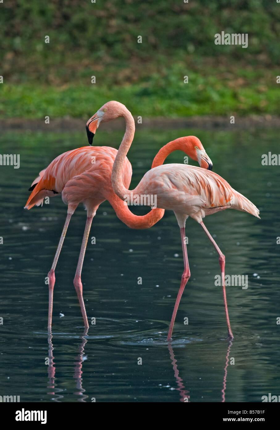 Two Caribbean Flamingos (Phoenicopterus ruber) - Stock Image
