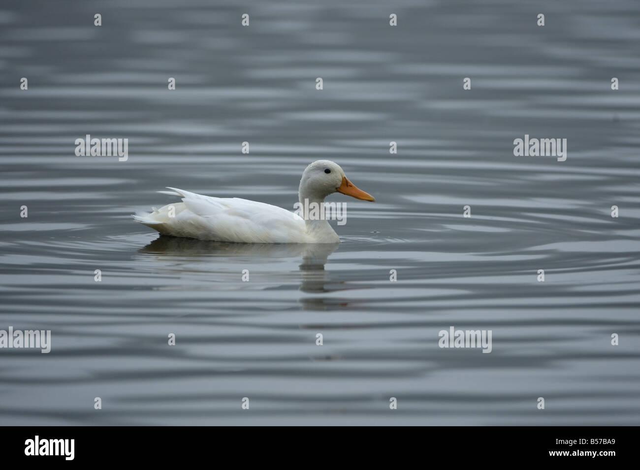 Pekin Aylesbury Duck Mallard Anas platyrhynchos - Stock Image