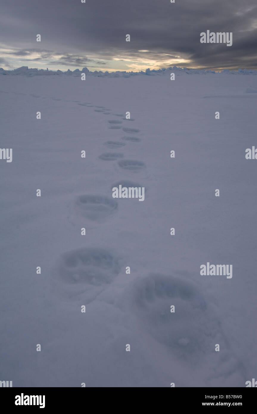 POlar bear tracks footprints in the snow Lancaster Sound Nunavut Canada Arctic - Stock Image