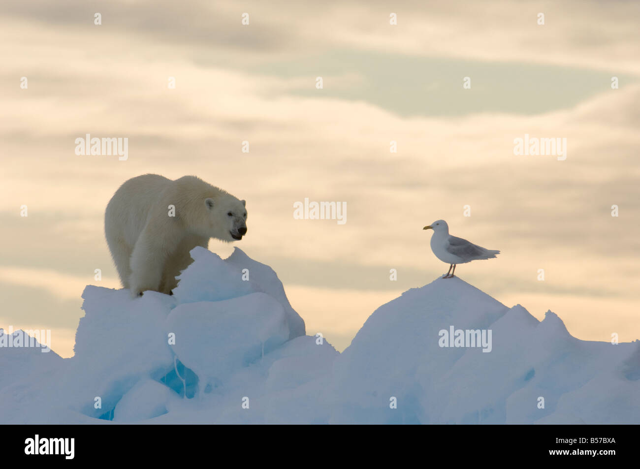 Young male polar bear at the floe edge with Arctic sea gull Lancaster Sound Nunavut Canada Arctic - Stock Image