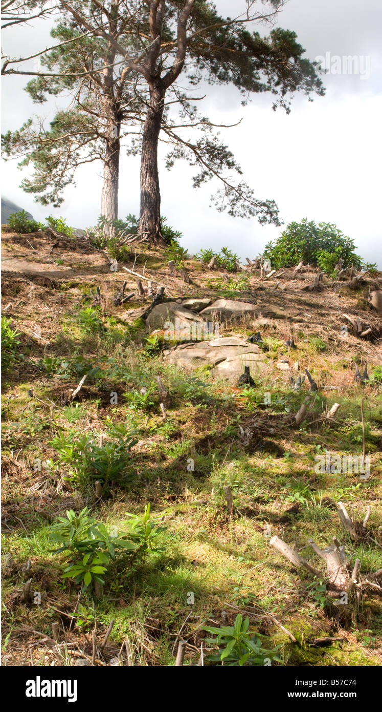 Rhododendron clearance, Scotland - Stock Image